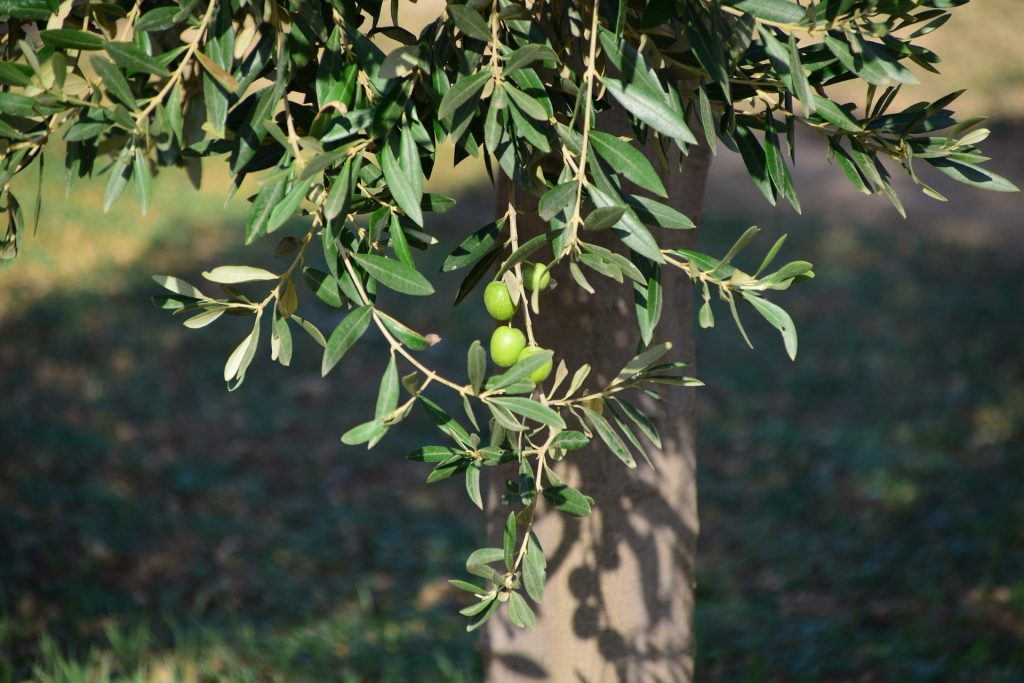 Olive leaf extract from RDHealthIngredients