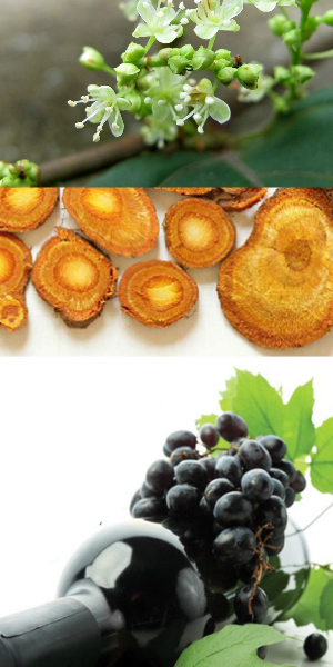 giant knotweed extract trans resveratrol