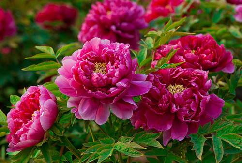 Edible flower Peony flower extract