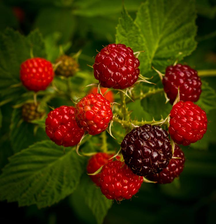 Wild raspberry RDHealthIngredients