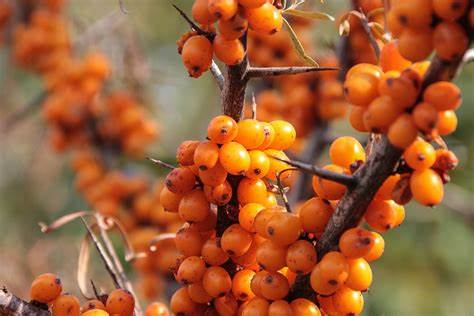 sea buckthorn RDhealthIngredients