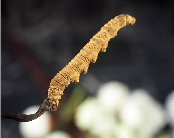 Cordyceps sinensis extract
