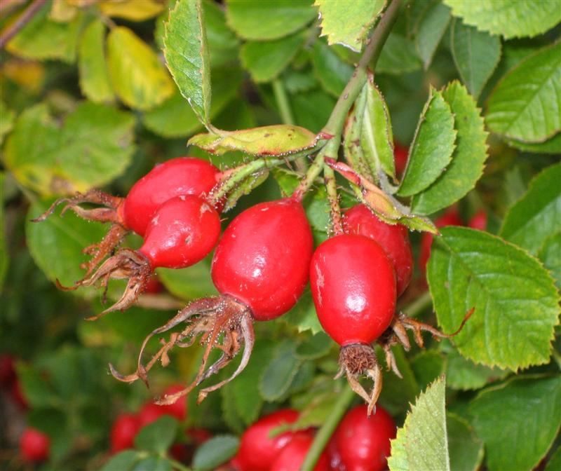 rosehip RDHealthIngredients